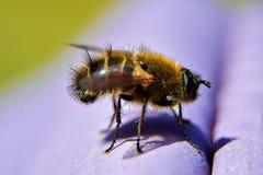 Un insecto similar a una abeja y a una poco a una mosca Foto de archivo libre de regalías