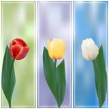 Un'insegna di tre tulipani Immagine Stock