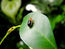 Un insetto che si siede su una foglia Immagini Stock Libere da Diritti