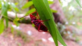 Un insetto rosso su una foglia Fotografia Stock