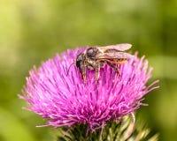 Un insetto su un fiore porpora Immagini Stock Libere da Diritti