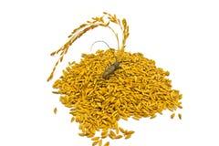 Un insetto sulla risaia di fila isolata su bianco Fotografia Stock Libera da Diritti