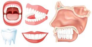 Un insieme dei denti umani illustrazione di stock