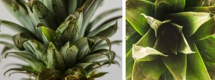 Un insieme delle foglie dell'ananas Immagine Stock