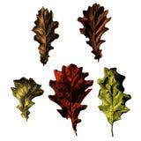 Un insieme delle foglie della quercia Fotografie Stock