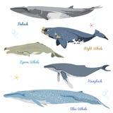 Un insieme di 5 balene dettagliate dall'illustrazione realistica di vettore delle icone del mondo include il finback, balena, cap Immagine Stock