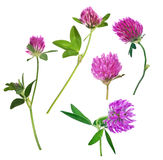Un insieme di cinque fiori rosa del trifoglio isolati su bianco Fotografie Stock Libere da Diritti