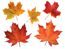 Un insieme di cinque foglie di acero isolate su bianco Fotografie Stock