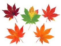 Un insieme di cinque foglie di acero variopinte di autunno Immagini Stock