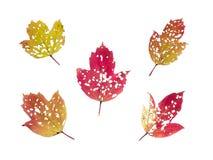 Un insieme di cinque foglie di autunno perforate dagli insetti Fotografia Stock Libera da Diritti