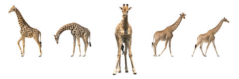 Un insieme di cinque giraffe africane in posings differenti Fotografia Stock Libera da Diritti