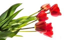 Un insieme di cinque tulipani di colore rosso isolati su fondo bianco Fotografia Stock Libera da Diritti
