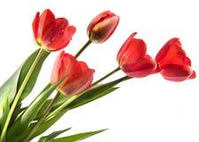 Un insieme di cinque tulipani di colore rosso isolati su fondo bianco Fotografie Stock Libere da Diritti