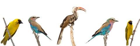 Un insieme di cinque uccelli africani, ogni seduta su un ramo dell'isolante dell'albero Immagine Stock Libera da Diritti
