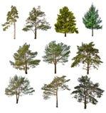 Un insieme di dieci conifere isolate su bianco Immagini Stock
