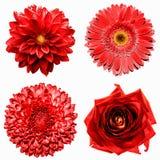 Un insieme di 4 in fiori rossi surreali 1: crisantemo, gerbera, dahila e rosa isolati immagine stock
