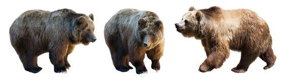 Un insieme di 3 orsi bruni sopra bianco Immagine Stock Libera da Diritti