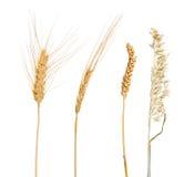 Un insieme di quattro cereali isolati su bianco Immagini Stock