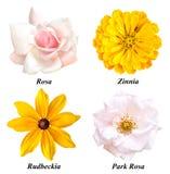 Un insieme di quattro colori: è aumentato, la zinnia, il rudbeckia, parco è aumentato Immagine Stock