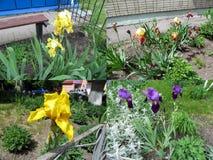 Un insieme di quattro foto delle iridi gialle, blu-viola e di Borgogna che che crescono nel giardino Immagine Stock