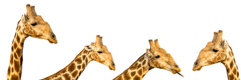 Un insieme di quattro foto delle teste divertenti della giraffa isolate sulla parte posteriore di bianco Fotografia Stock Libera da Diritti