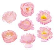 Un insieme di sette ha isolato le fioriture rosa del rovo Immagini Stock