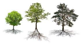 Un insieme di tre alberi con le radici isolate su bianco immagini stock libere da diritti