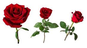 Un insieme di tre belle rose rosse vive sui gambi con le foglie verdi isolate su fondo bianco Fotografie Stock