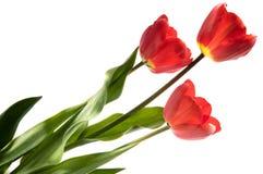 Un insieme di tre tulipani di colore rosso isolati su fondo bianco Fotografia Stock Libera da Diritti