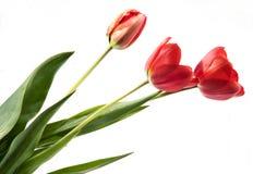 Un insieme di tre tulipani di colore rosso isolati su fondo bianco Fotografia Stock