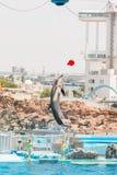 Un instructor no identificado de la mujer está mostrando delfínes Fotografía de archivo libre de regalías