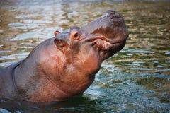 Un ippopotamo Immagini Stock