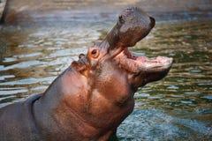 Un ippopotamo Immagini Stock Libere da Diritti