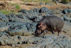 Un ippopotamo che tocca col gomito un coccodrillo di Nilo dal suo percorso Fotografia Stock