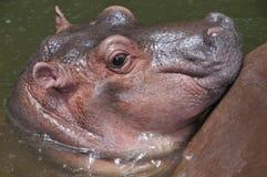 Un ippopotamo sveglio del bambino. Fotografie Stock