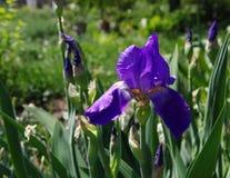 Un iris Imagenes de archivo