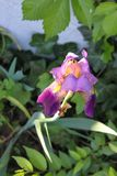 Un iris púrpura perfecto destacó por la sol que crecía entre muchas plantas verdes en área sombría foto de archivo libre de regalías