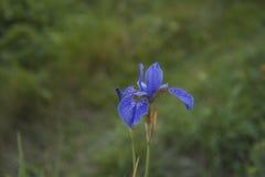 Un iris siberiano azul que florece en el jardín Imagen de archivo libre de regalías