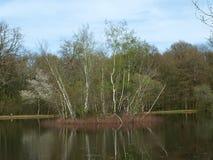 Un'isola della betulla in un lago della foresta immagini stock
