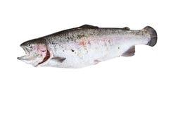 Un isolat de poissons de truite de fleuve Image stock