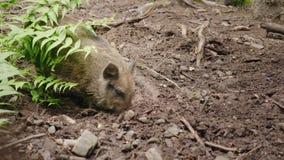 Un jabalí divertido cava la tierra con su hocico Animales divertidos almacen de metraje de vídeo