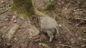 Un jabalí divertido cava la tierra con su hocico, una visión trasera Animales divertidos almacen de metraje de vídeo