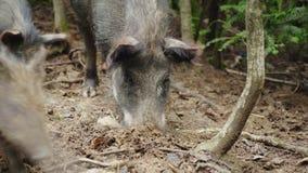 Un jabalí grande cava la tierra con su hocico Buscar la comida en el bosque almacen de metraje de vídeo