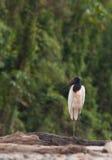 Un Jabiru solitario fotografía de archivo