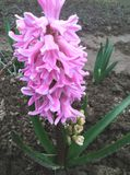 Un jacinto rosado hermoso floreció en el jardín Fotos de archivo