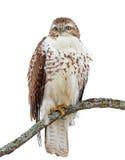 Un jamaicensis Rosso-munito del Buteo del falco si è appollaiato sul ramo Fotografie Stock Libere da Diritti