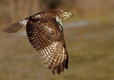Un jamaicensis Rosso-munito del Buteo del falco in volo Fotografia Stock Libera da Diritti