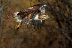 Un jamaicensis Rosso-munito del Buteo del falco in volo Fotografie Stock