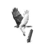 Un jamaicensis Rosso-munito del Buteo del falco in volo Immagini Stock