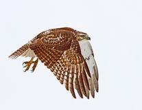 Un jamaicensis Rosso-munito del Buteo del falco in volo contro un cielo blu Immagine Stock Libera da Diritti
